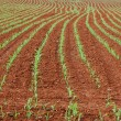 Stock Photo: Corn planted
