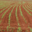 Corn planted — Stock Photo