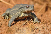 Common toad (Bufo bufo) — Stock Photo