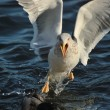 Seagull (Larus fuscus) — Stock Photo