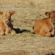 Two young calf — Stock Photo