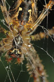 Spider (Araneus diadematus) — Stock Photo