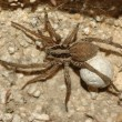 Wolf spider (Lycosa tarantula) — Stock Photo