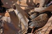 Seoane's viper (Vipera seoanei) — Stockfoto