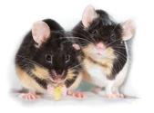 Pair of cute little pet mice — Stock Photo
