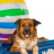 Happy dog at the seaside — Stock Photo