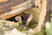 Little mouse under a log — Stock Photo