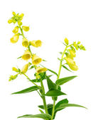Flowering yellow foxglove — Stock Photo
