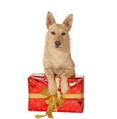 Dog with a Christmas gift — Stock Photo