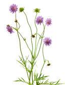Isolated pincushion flower plant — Stock Photo