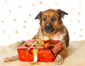 Dog with Decorative Christmas gift — Stock Photo