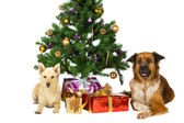 Happy dogs under the Christmas tree — Stock Photo