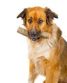 Mixed breed dog — Stock Photo