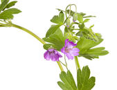 Malva sylvestris plant — Stock Photo