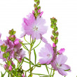 Stock Photo: Pink flowers of Prairie Mallow