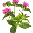 Stock Photo: Striking pink flowers of Crimson Beebalm