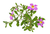 Pink flowers of the Rockrose or Cistus albidus — Stock Photo