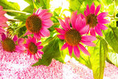Beautiful purple Echinacea flowers — Stock Photo