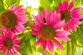 Echinacea purpurea flowers — Stock Photo
