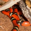 Sinaloan Milk Snake in captivity — Stock Photo