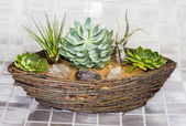 Echeveria and Tillandsia growing in a basket — Stock Photo
