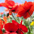 Poppy filed — Stock Photo