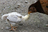 Hen feeds its chick — Stock Photo