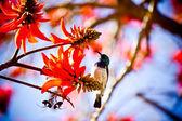 Honey Bird on Protia tree — Stock Photo