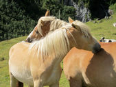 Horses are sniffing each other — Stock Photo