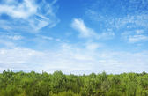 Mladé borovice s modrá obloha nad — Stock fotografie