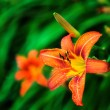 Orange tiger lilies blooming in the garden — Stock Photo #34960135