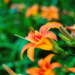 Orange tiger lilies blooming in the garden — Stock Photo #34960825