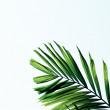 Green palm leaves isolated on white backgroun — Stock Photo