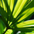 Beautiful vibrant, lush green fan palm leaf — Stock Photo