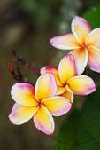 Plumeria in the garden, Thailand — Stock Photo