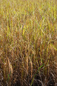 Rice field — Photo