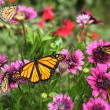 Monarch Butterflies and Purple Daisies - Stock Photo