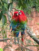 Beautiful couple of wild red macaws, seen at Buraco das Araras ( — Stock Photo