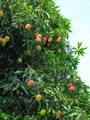 Mangoes on a mango tree, in Chapada Diamantina National Park, Br — Stock Photo