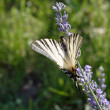Scarce Swallowtail in Croatia — Stock Photo