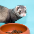 Ferret is eating feed — Stock Photo