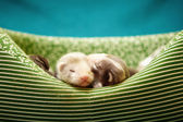 Ferret babies in lair — 图库照片