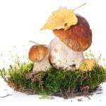 Two fresh porcini mushrooms — Stock Photo #24483425