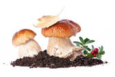 Two fresh porcini mushrooms — Stock Photo