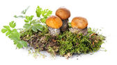 Orange-cap boletus in moss on white background — Stock Photo