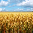 Ripe wheat field on a summer day — Stock Photo