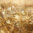 Golden wheat field — Stockfoto #24503705