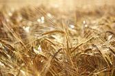 Goldene weizenfeld — Stockfoto
