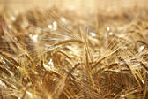 Gyllene vete fält — Stockfoto