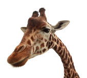 Curious funny giraffe — Stock Photo